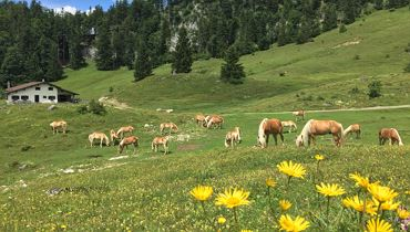 Visit the haflinger stallions on the alm